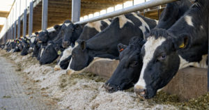 dairy cattle eating food waste